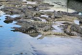 Lots of Crocodiles