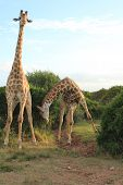 foto of bow-legged  - Pair of Giraffes  - JPG