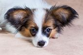 picture of epagneul  - Portrait of a cute little puppy Papillon - JPG