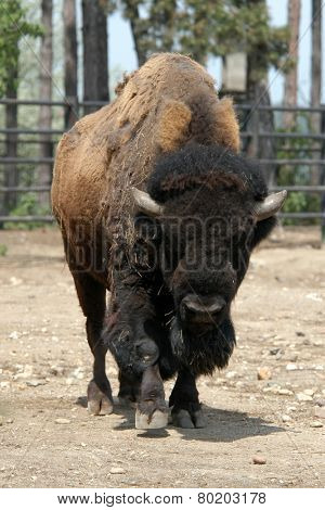 American bison (Bison bison), also known as the American buffalo.