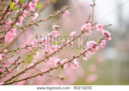 Japanese apricot pink flowers blossom