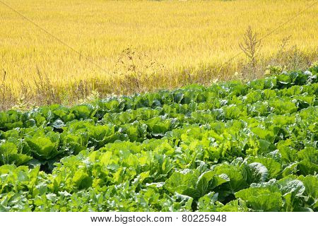 Rice And Chinese Cabbage Field