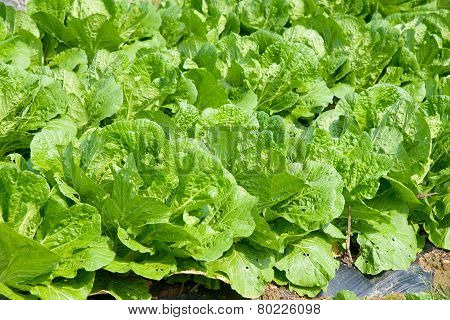 Chinese Cabbage Farm
