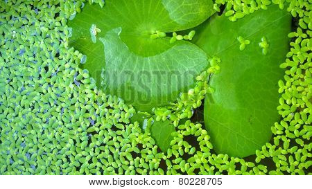Lotus Leaf And Duckweed.