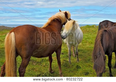 Beautiful and well-groomed horse chestnut and white suit on free ranging. Icelandic horses on the shore of the fjord