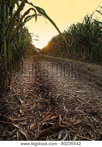 The Harvest Of Cobs