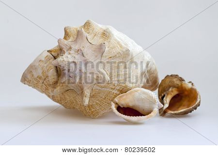 Sea cockleshells of various form