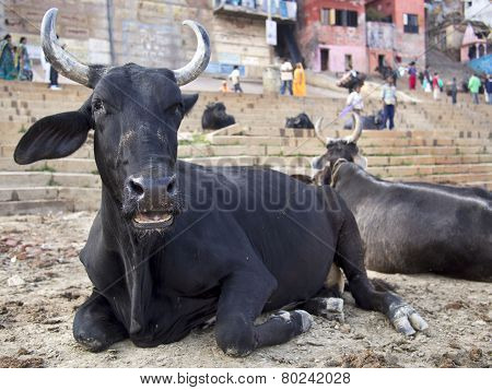 Bulls Sitting On The Ghats By The Ganges In Varanasi, India