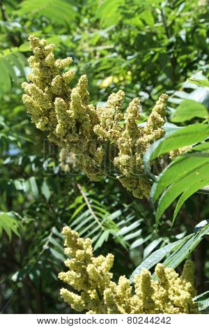 Staghorn Sumac (Flowering)