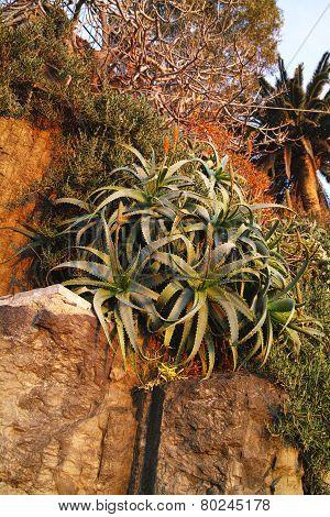 Plant Of Aloe
