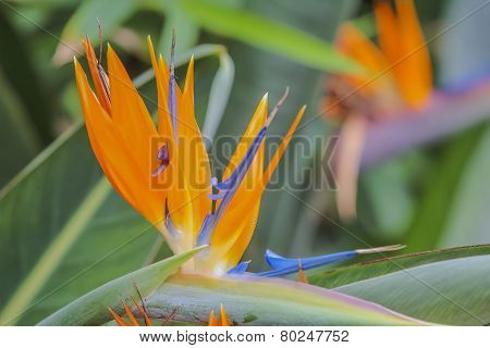 Tropical Flower Strelitzia, Bird Of Paradise