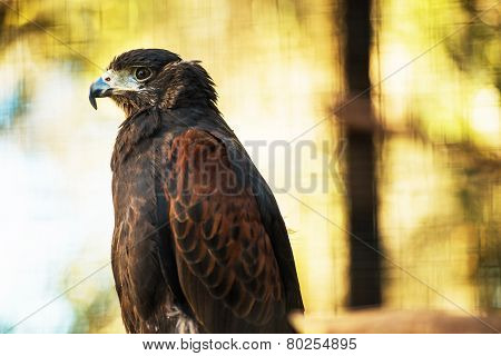 Bay-winged Hawk