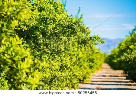 Lemon Trees Plantation