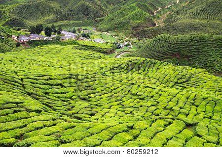 Aerial View To Tea Plantation