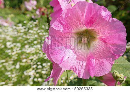 Pink hollyhock in the summer perennial garden.