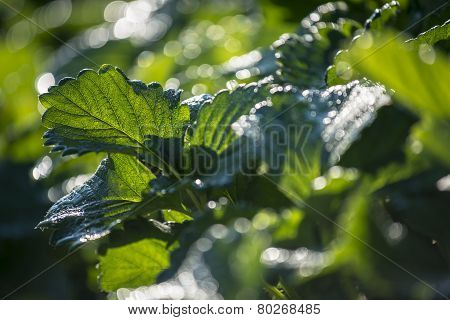 strawberry leaf with dew and back light in the morning ,Thailand - January 2015