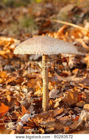 Parasol Mushroom In Forest