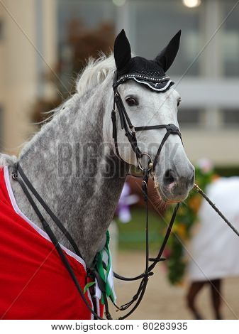 Dressage horse portrait after event