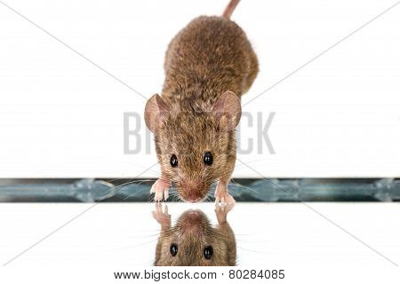 House Mouse (mus Musculus) Jumping Down