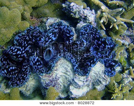 Giant Clam Mantle
