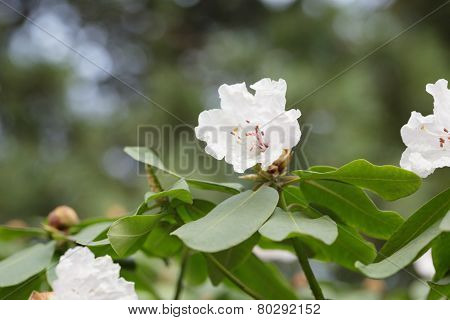 Spring Branch Of White Rhododendron Bush