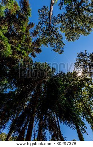 Straight up view of Pine Trees and Blue Skies