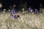 pic of harebell  - Bell flower (Campanula rotundifolia) with morning dew at Engenhahn Hesse Germany, blurred with bokeh. ** Note: Soft Focus at 100%, best at smaller sizes - JPG