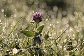 picture of red clover  - Red Clover with morning dew at Engenhahn Hesse Germany
