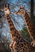 Постер, плакат: Giraffes