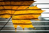 stock photo of jalousie  - Dry Maple leaf on the jalousie window background - JPG
