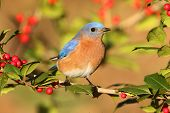 image of bluebird  - Male Eastern Bluebird (Sialia sialis) perched in a holly bush ** Note: Shallow depth of field - JPG