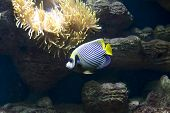 Постер, плакат: Fish angel fish emperor And Actinia sea Anemona