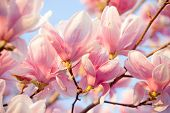 foto of magnolia  - Beautiful magnolia flower blossom in evening sun - JPG