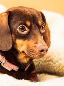 stock photo of dog breed shih-tzu  - Animals at home - JPG