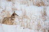 pic of coyote  - Coyote on Winter Meadow - JPG