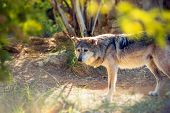foto of lupus  - Mexican Wolf Also Known As Lobo - JPG