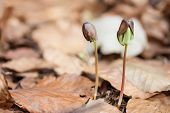 image of beechnut  - close up germinated beechnuts in beech leaves - JPG