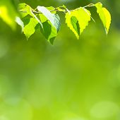 foto of birching  - Bright green background with fresh birch leaves - JPG