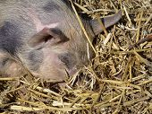 foto of farrow  - A baby pig with the snout in the straw - JPG