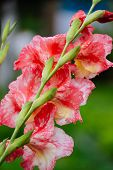 image of gladiolus  - Close up of red gladiolus growing in a garden - JPG