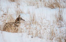foto of coyote  - Coyote on Winter Meadow - JPG