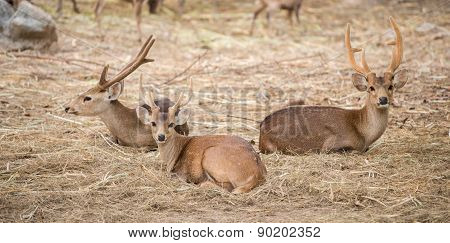 Male Hog Deer