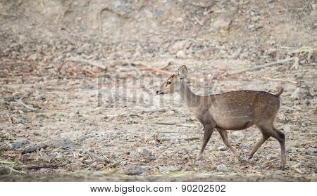 Female Hog Deer