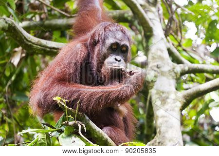 Orangutan thinking on a tree