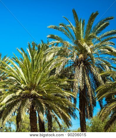 Palm Trees on the blue sky background
