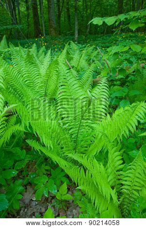Floral Background With Common Lady Fern