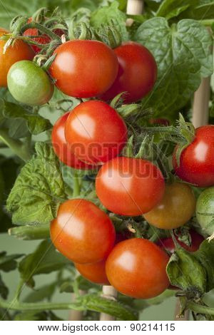 Fresh ripe cherry tomatoes on a plant