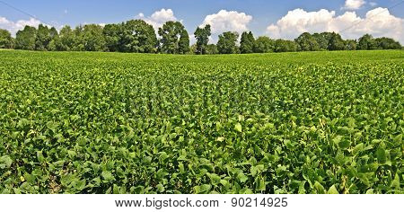 Mature Soybean Field Over Blue Skies