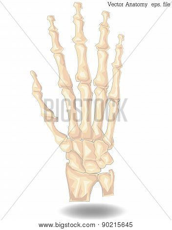 Vector Hand Bone anatomy