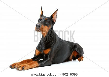 Dog lying on white isolated background.